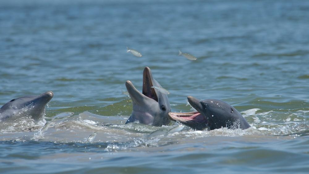 Mud-ring feeding Dolphins in Florida Bay