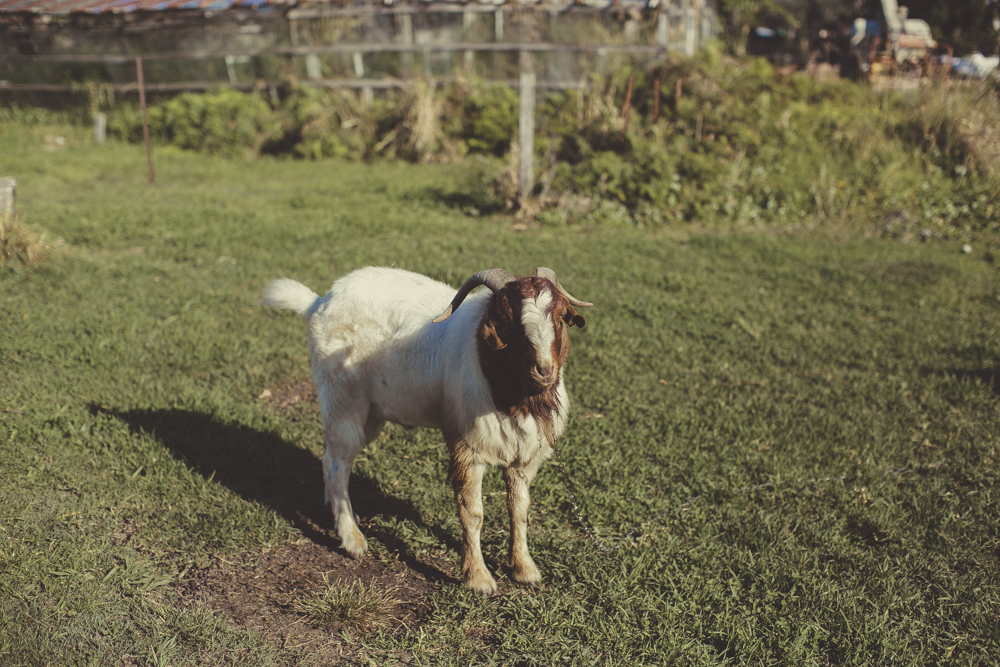 A friendly goat on set.