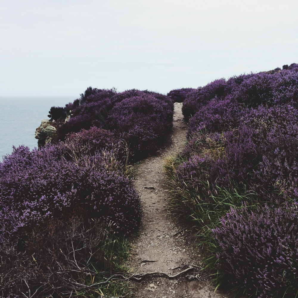 Purple flower fields at Howth Cliffs.