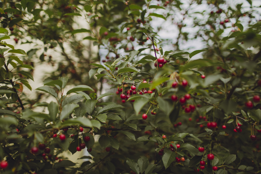 Picking cherries from the garden to eat everyday.