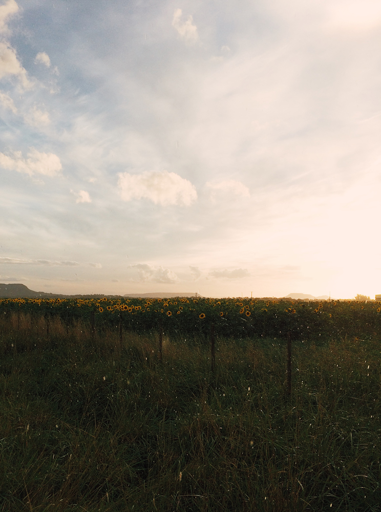 I was in heaven stumbling across a field of sunflowers!