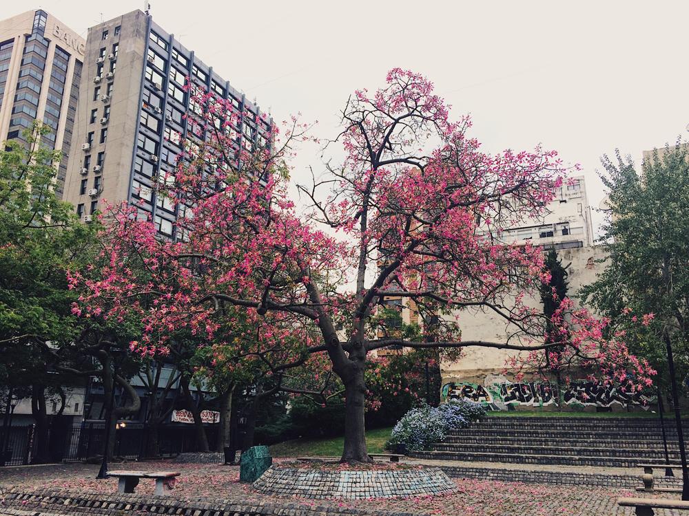 "El Palo Borracho ""The Drunk Tree"" blooming vibrantly."