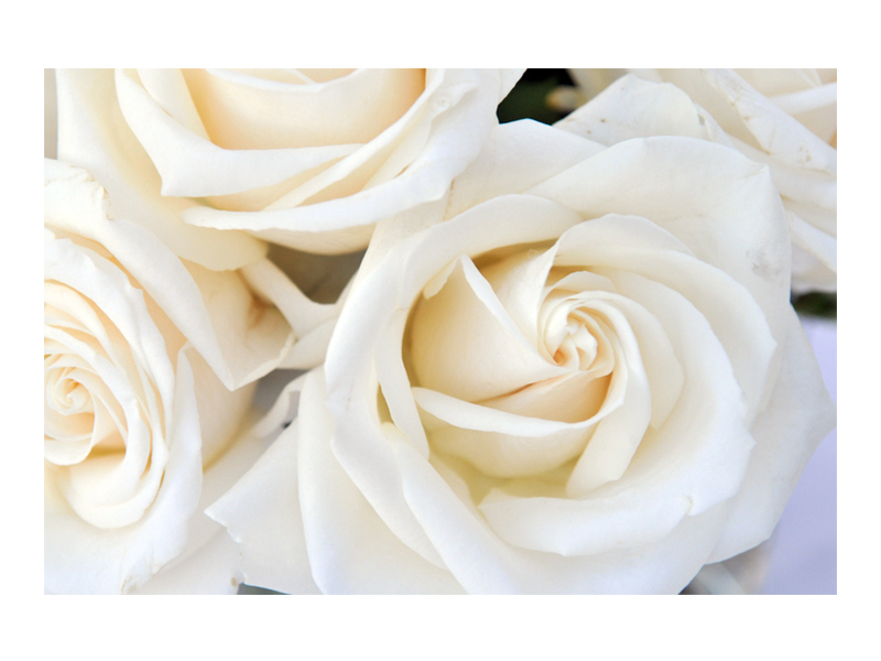 NATURE_HORI.JPEG_0006_White Rose.jpg