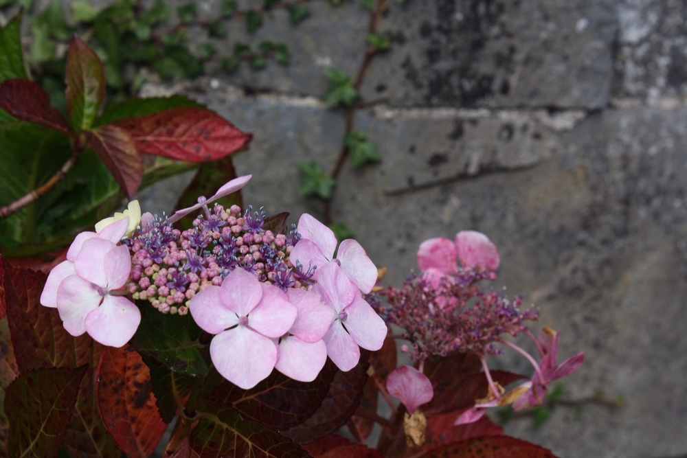 Johnstown-Castle-hydrangea_heatherbyhand.JPG