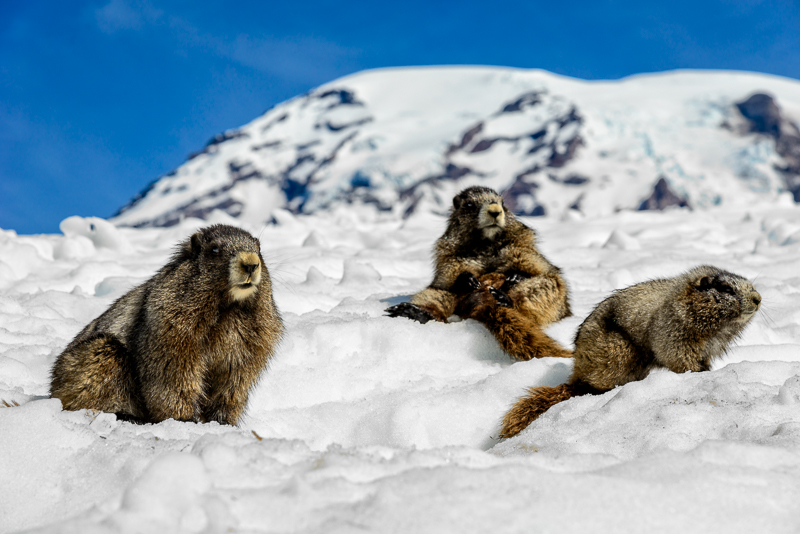 Hoary Marmots relax on Mt. Rainier. Technical Details: Nikon D800 Nikkor 24-120 at F10 for 1/200 sec at ISO 100