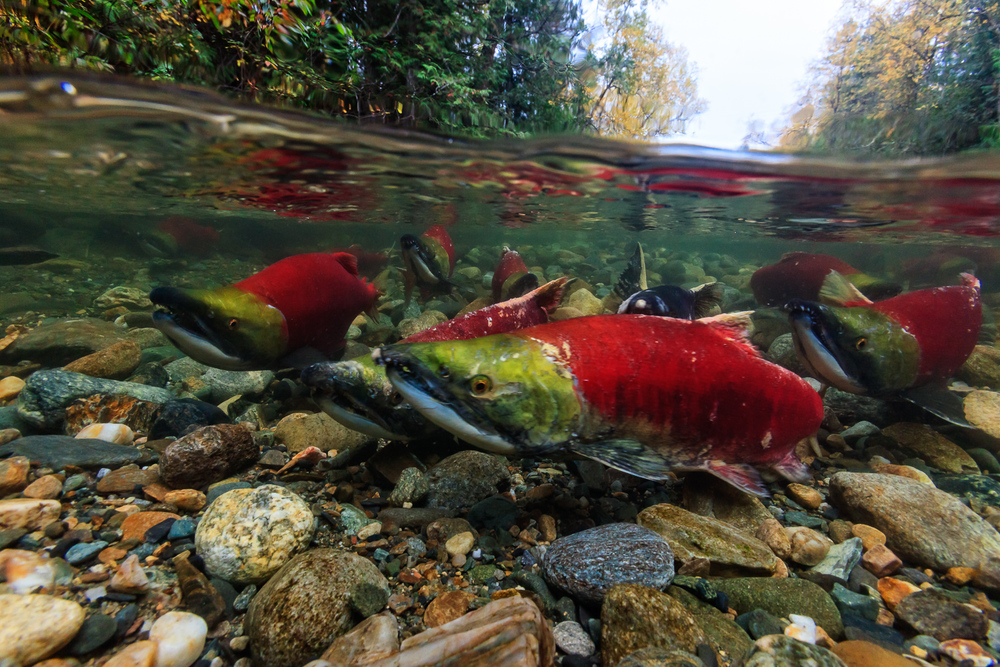 Sockeye Salmon in the Adams River, British Columbia.