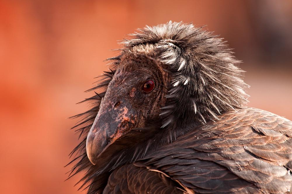 """""""Contemplative Condor"""""""