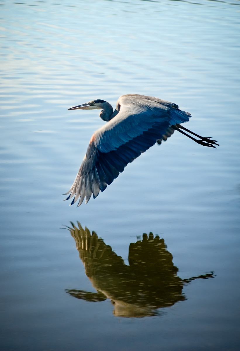 """Blue Heron Reflection"""