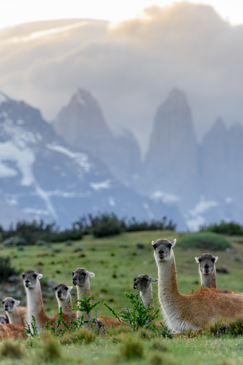 Guanaco in Torres Del Paine National Park.