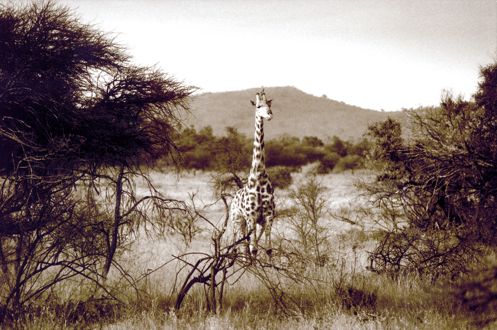 africa.giraffe.jpg