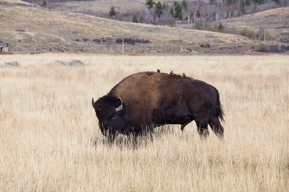 Our first buffalo sighting. Birds just chilling on him.