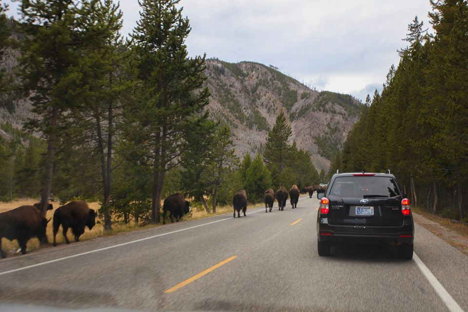 The buffalo herd causing traffic.