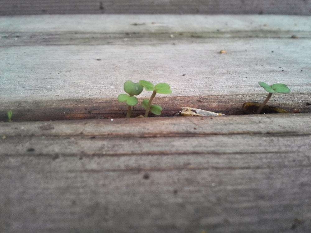 ...and ended up with some arugula growing in the stairs.