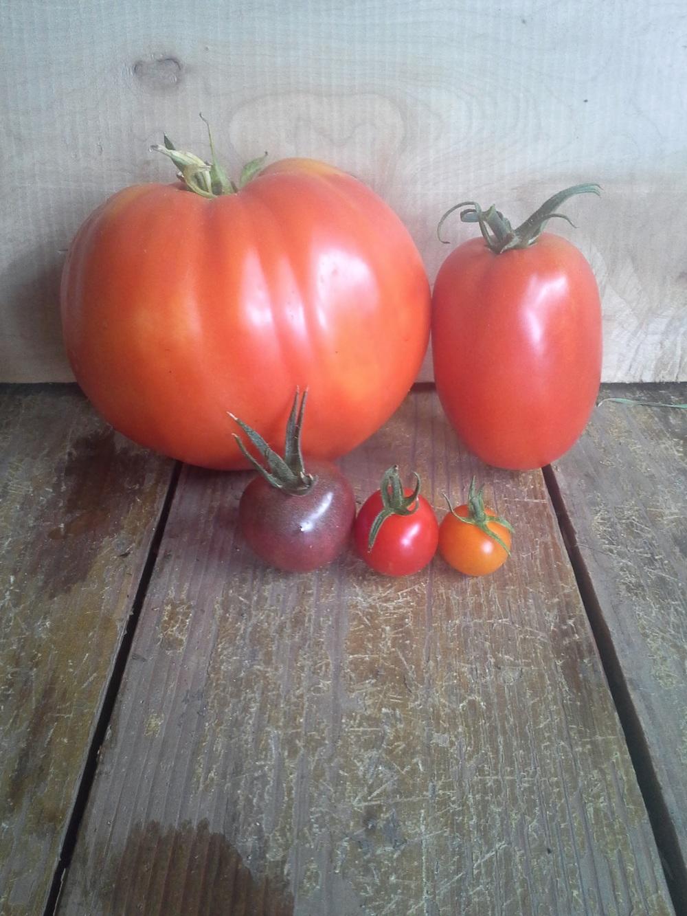 The Tomato Family