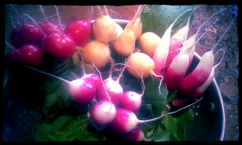 Can you tell Vanessa is no longer here to take the photos? Anyway. There are radishes a plenty here right now.