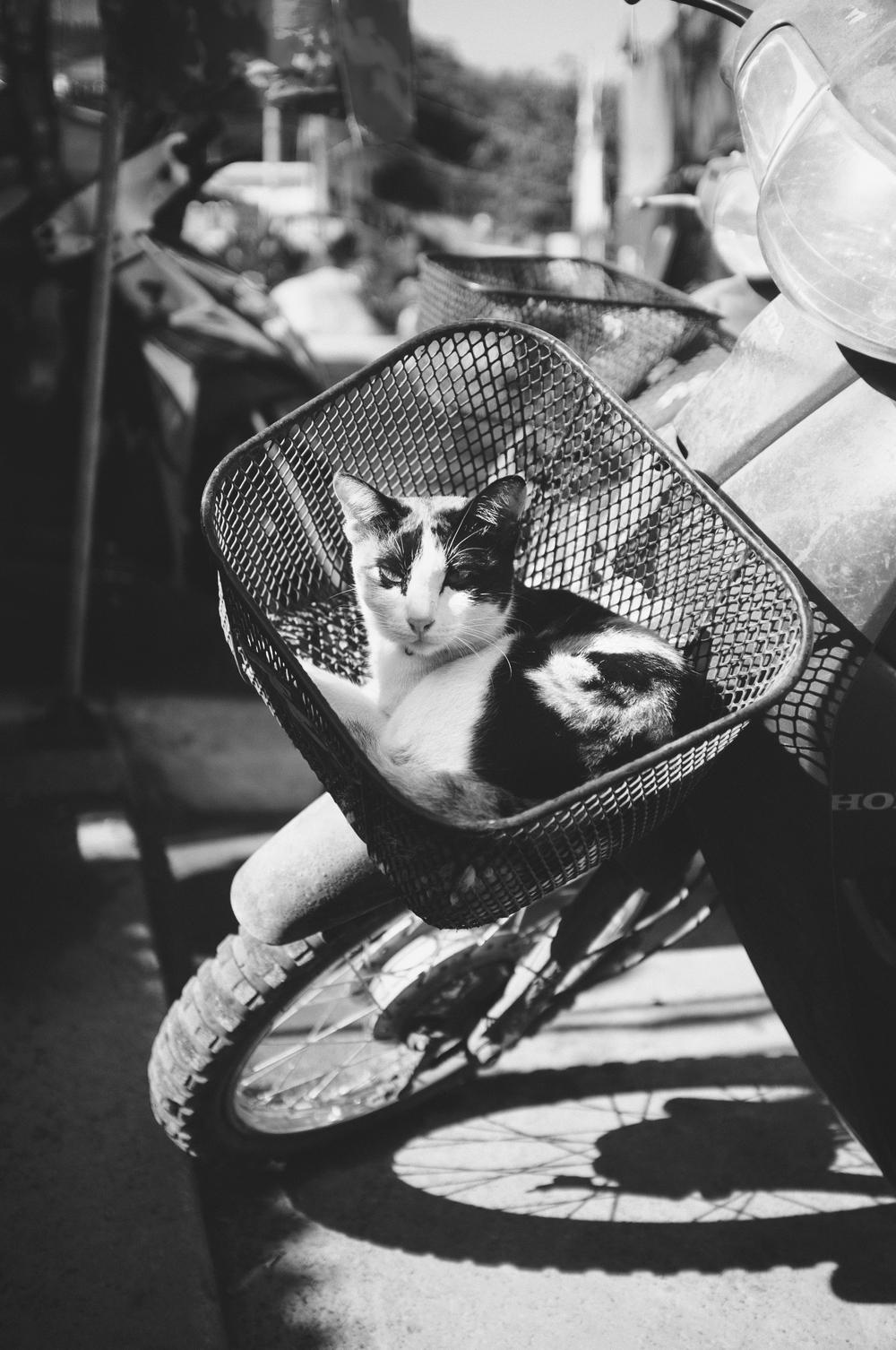 Koh Tao Scooter Cat.jpg
