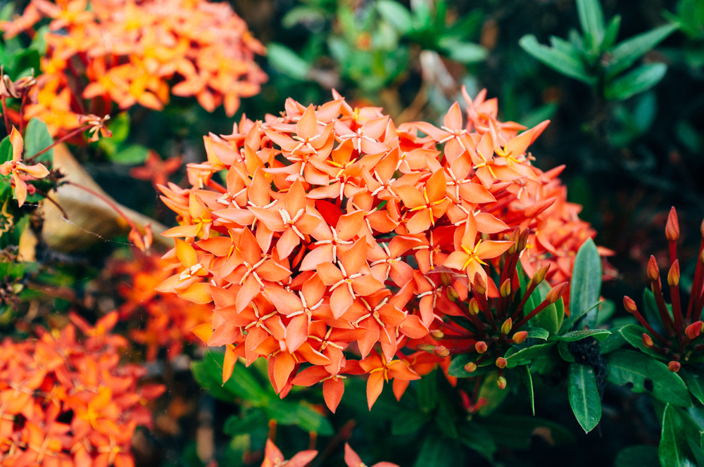 Suhkothai Flowers.jpg