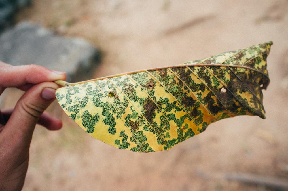 Cambodia Leaf Decay.jpg
