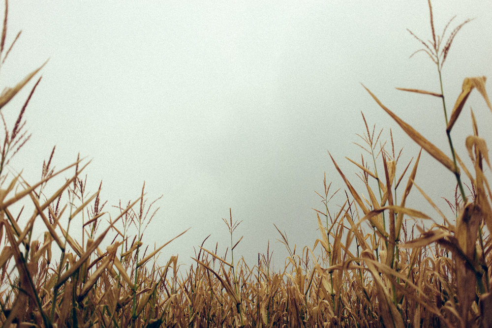 Corn Days.jpg