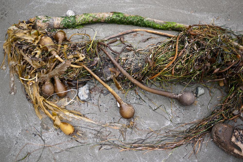 Kelp Root.jpg