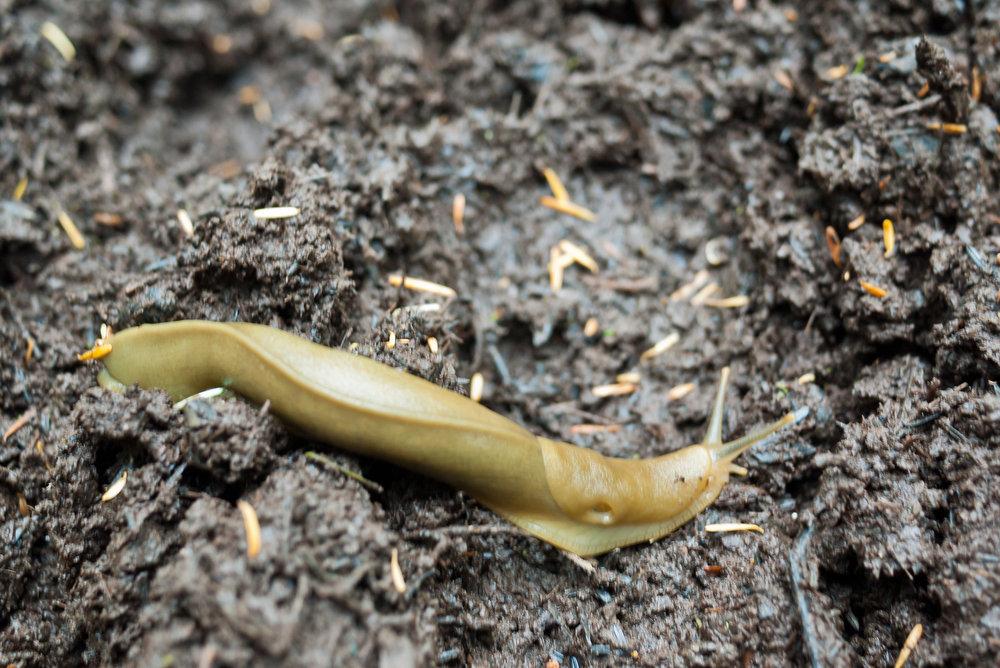 Banana Slug Ground.jpg