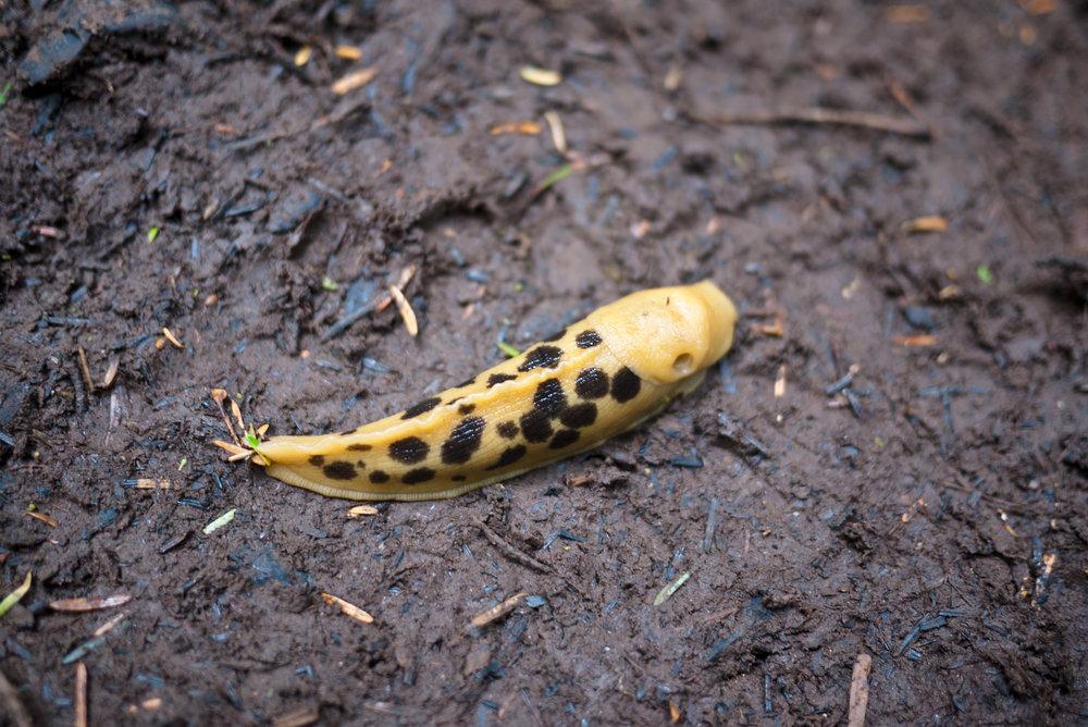 Spotted Slug.jpg