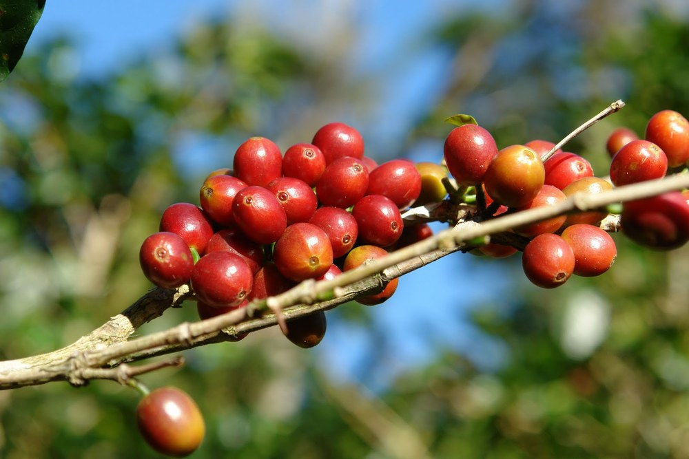 Norway-Hacienda-La-Esmeralda-coffee-farm_sold-at-Thirsty-Sisters-3-Norway-roasters_10-13-10.jpg