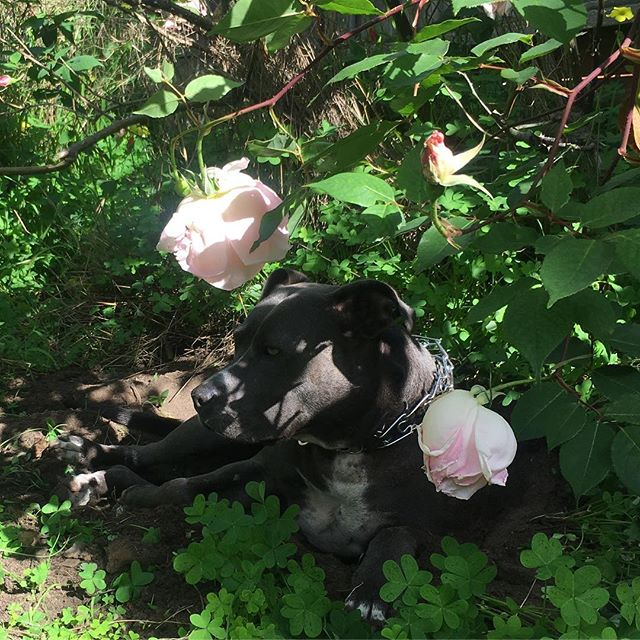 My #roses are blooming! And Skyler has found her favorite shady spot! #justlikehermama #rosieposie #pitbullflowerpower #pittyparty #rosesandpitbulls