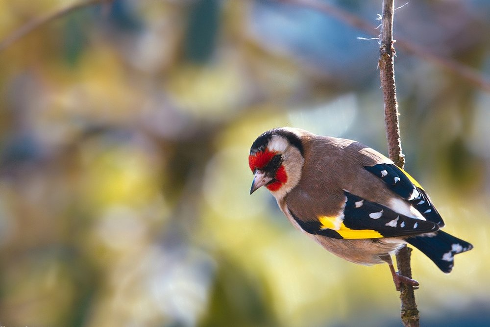 Mary, Jesus, and Goldfinches