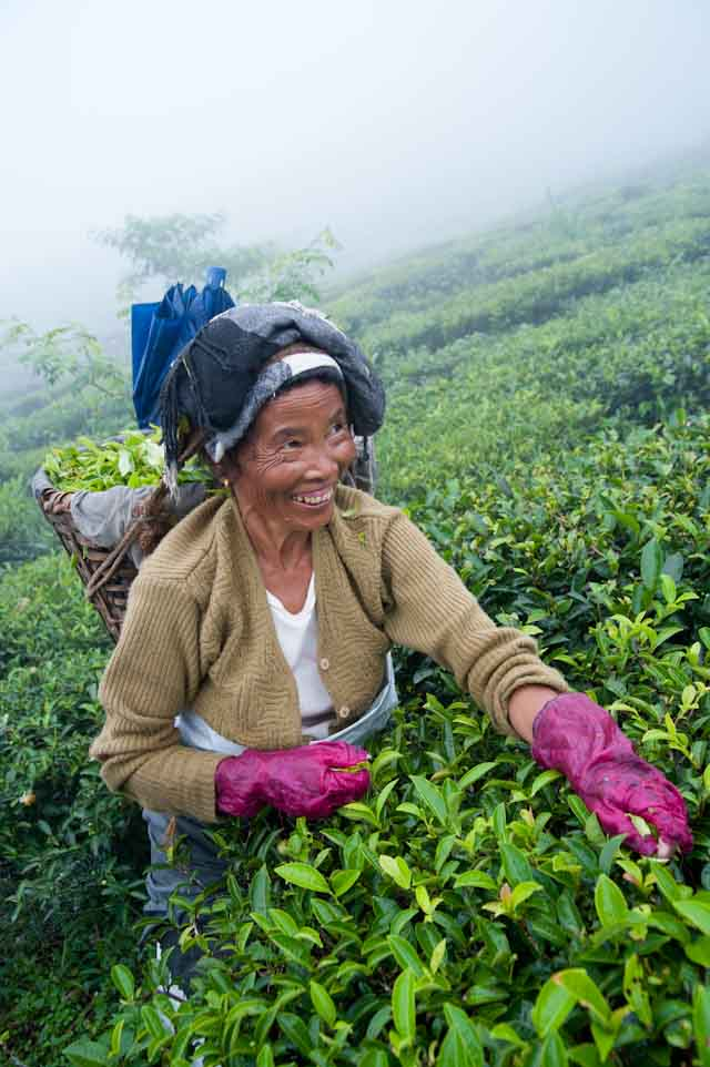 In Darjeeling, India, women contribute the bulk of labor as tea pluckers on the tea estates.