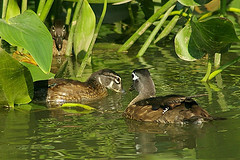 """Wood Duck, P.I."" by author"
