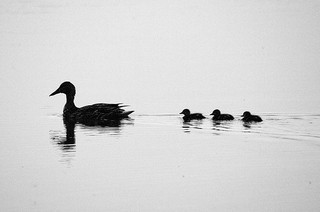 """ducklings asea"" by author"