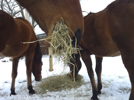 What horses mostly do all day . . .