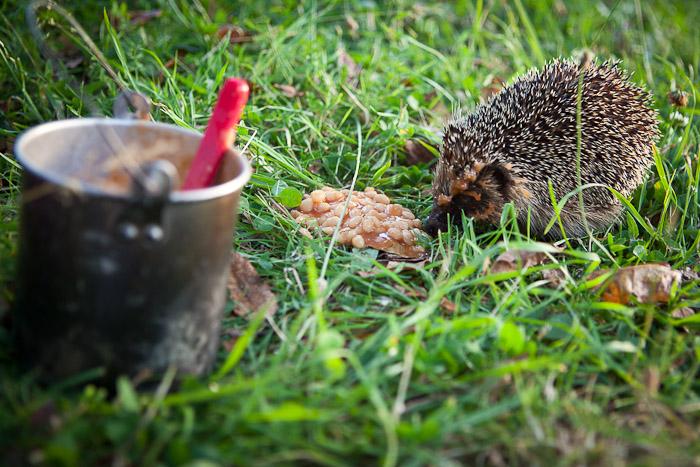 Hedgehog eats beans