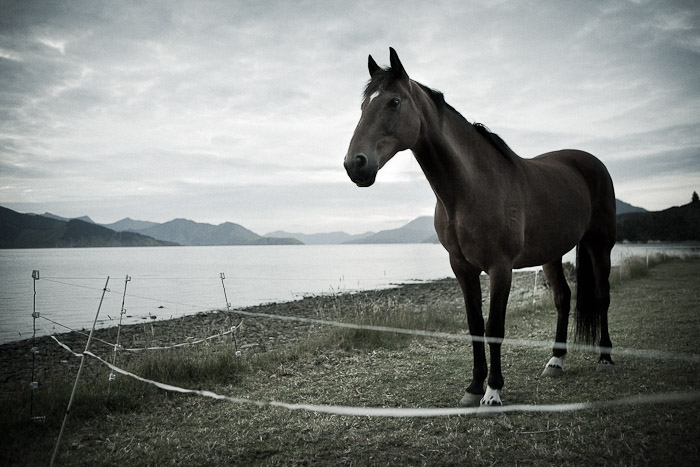 Horse grazing near shoreline, New Zealand at Dusk (1)