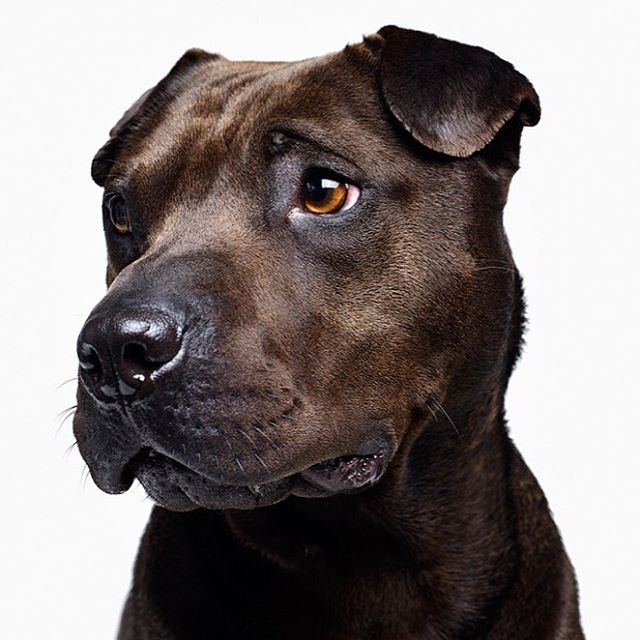 Beyond a shadow of doubt, you should adopt Shadow! This handsome fella is ready to hike and play whenever you are! He's currently featured on our Ginger Kombucha, so go snag one while they're cold and help spread the word to get Shadow adopted. #Sharpei #pitbull #sharpit #sharpeisofinstagram #dogoftheday #chewslifedogrescue #kombucha #vegan #adoptdontshop