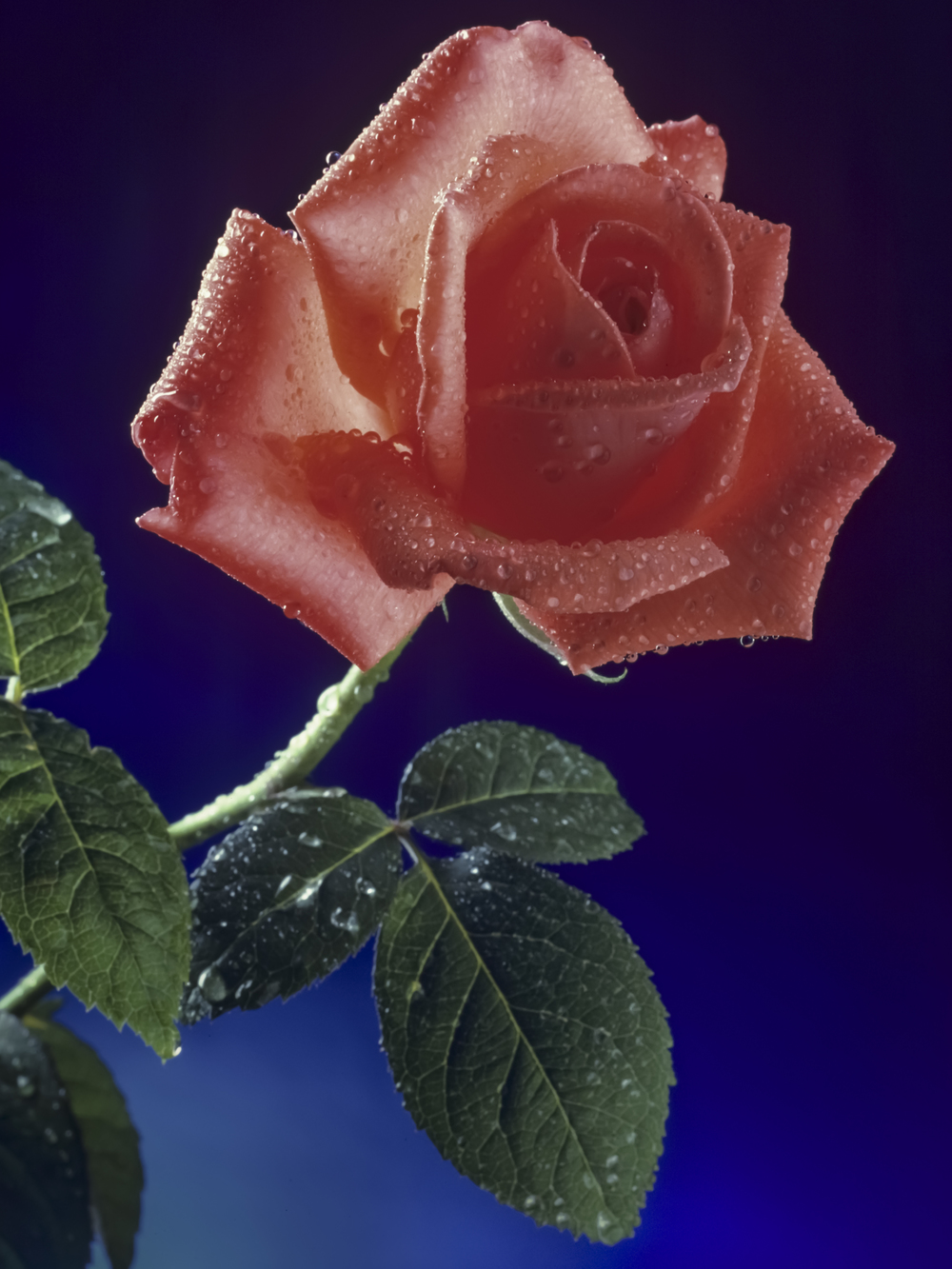 The Rose, studio promotional Copyright © Kipp Baker, All rights reserved