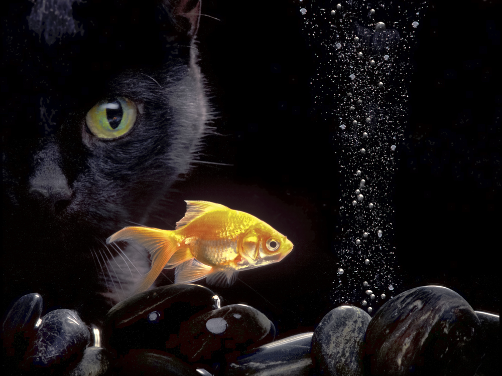 Up Close - Black cat and goldfish