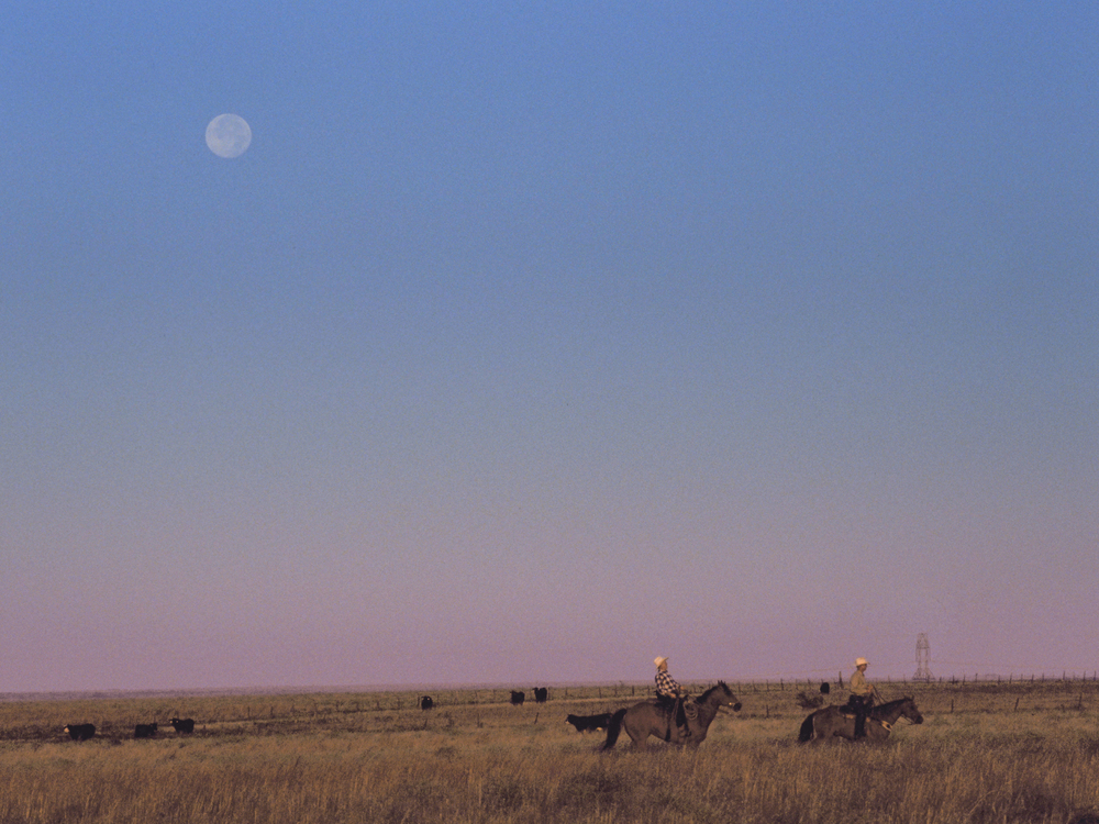 Moonset over  cattle round-up at dawn