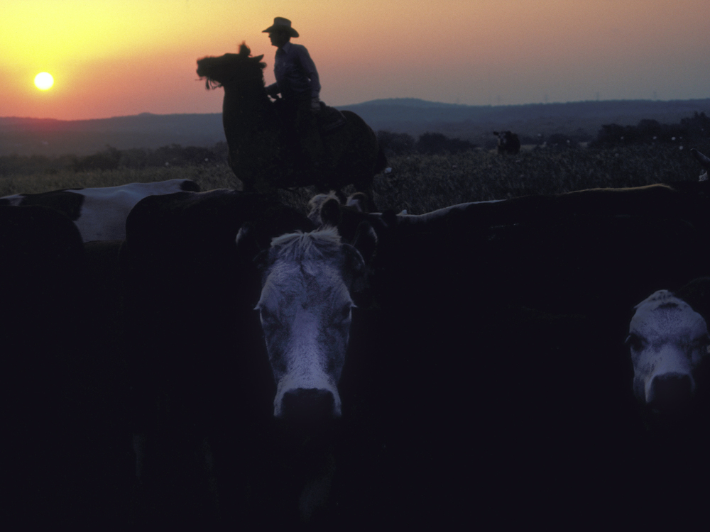 Cowboy and heifer stare-down at dawn