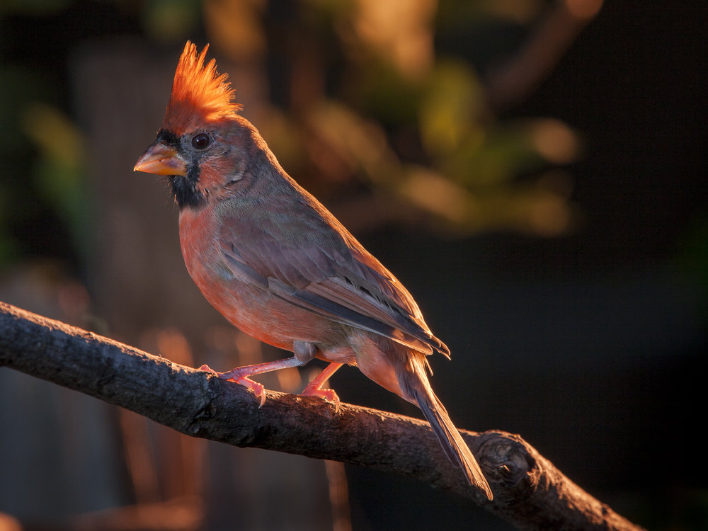 Cardinal. Studio lighting used outdoors Copyright © Kipp Baker, All rights reserved