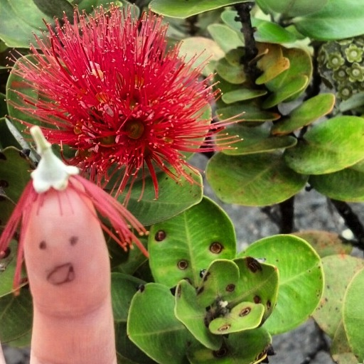 Ohia & friend, HAVO, Big Island. Gave 4 talks about the Hylaeus to great audiences in Hawaii. So thankful - mahalo.