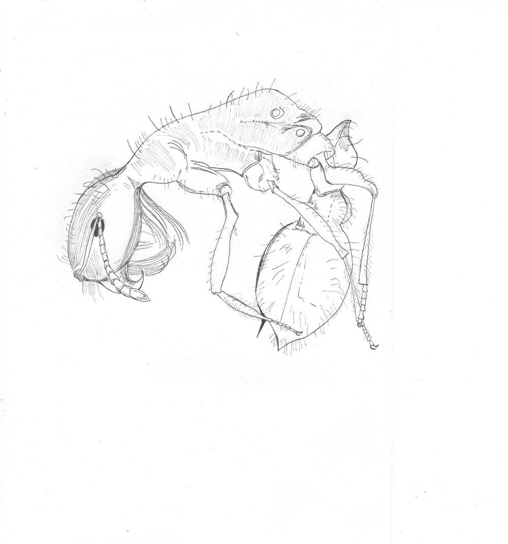 Desert ant (Pogonomyrmex sp.), drawing by Lisa Schonberg. From Fieldguided II: Joshua Tree.
