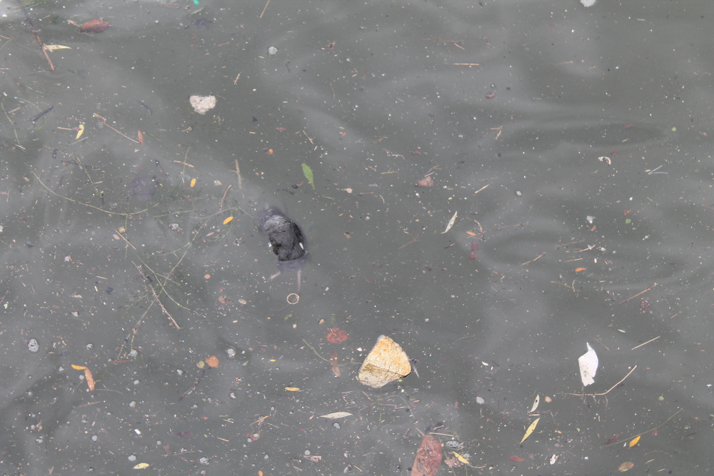 Dead rat floating with debris in the Bathurst Quay inlet. (Image by Lake Ontario Waterkeeper)