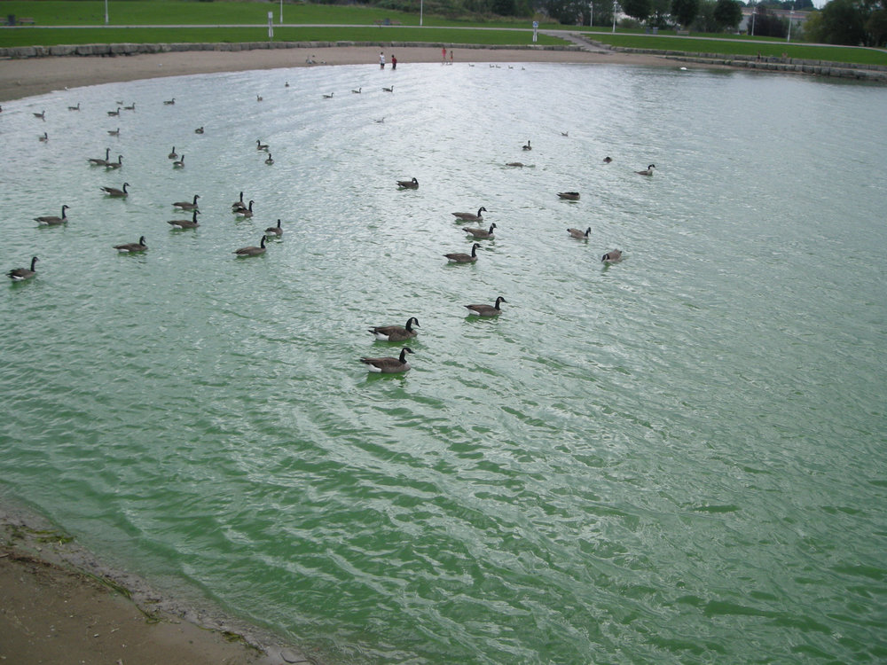 Blue-green algae bloom, full picture. (Photo by Neal Jennings)