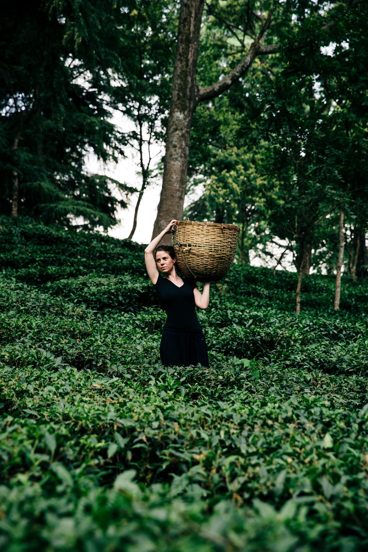 tea plantation, Dharamshala