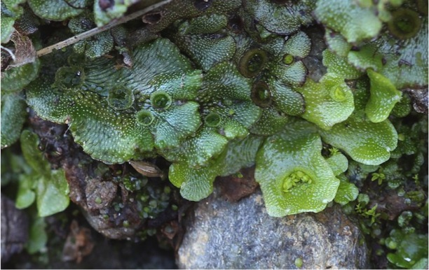 Thallose liverworts ( Marchantia  and  Lunularia spp. ) showing clonal plantlets in gemma cups. A gemma is a mass of cells, or a modified bud of tissue, that detaches from the parent and develops into a new individual. This type of asexual reproduction is referred to as fragmentation. It is a means of asexual propagation in plants. Photo: Avenue 2011. Source: Wikimedia Commons.