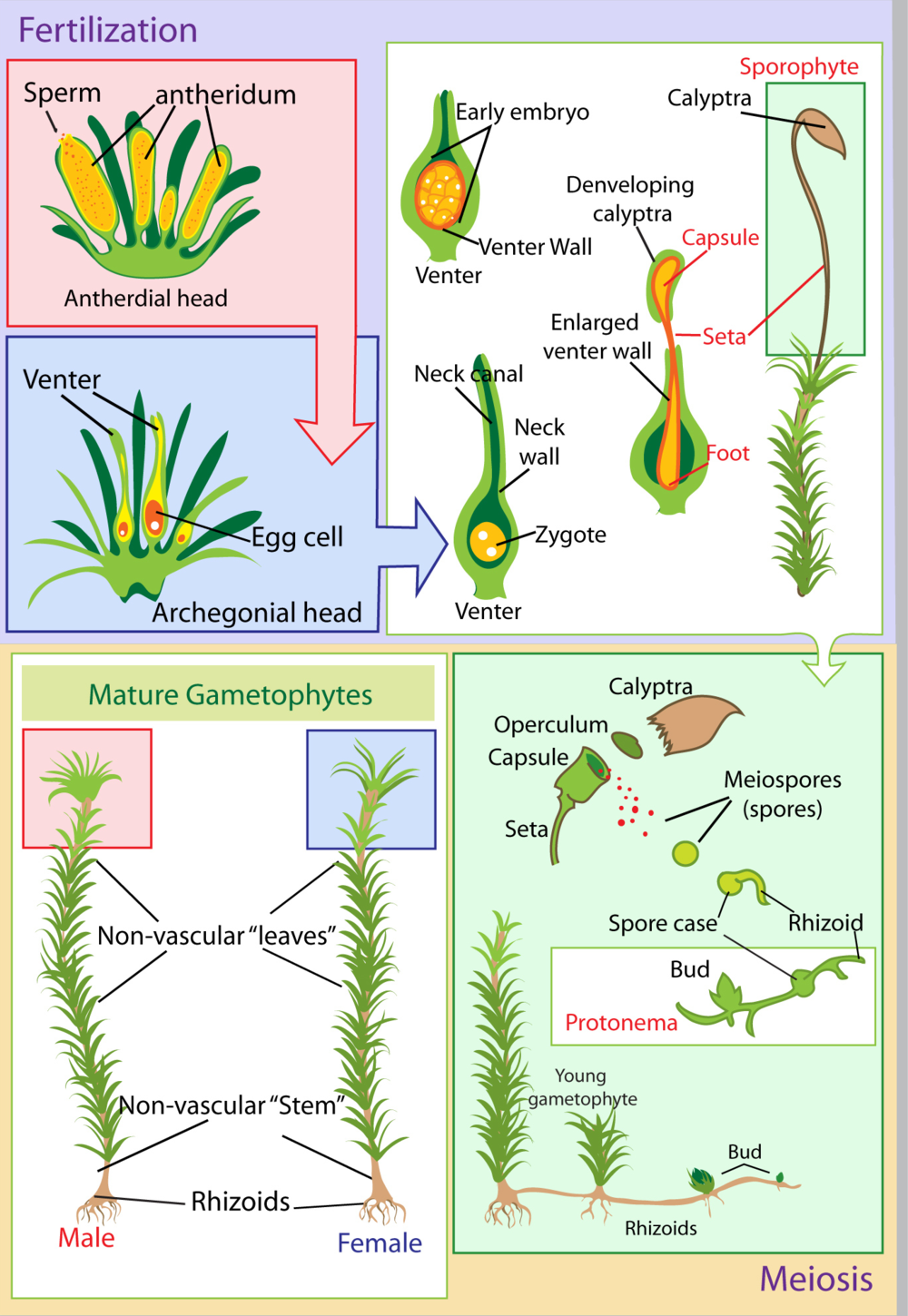 Moss life cycle. Illustration: LadyofHats 2005. Source: Wikimedia Commons.