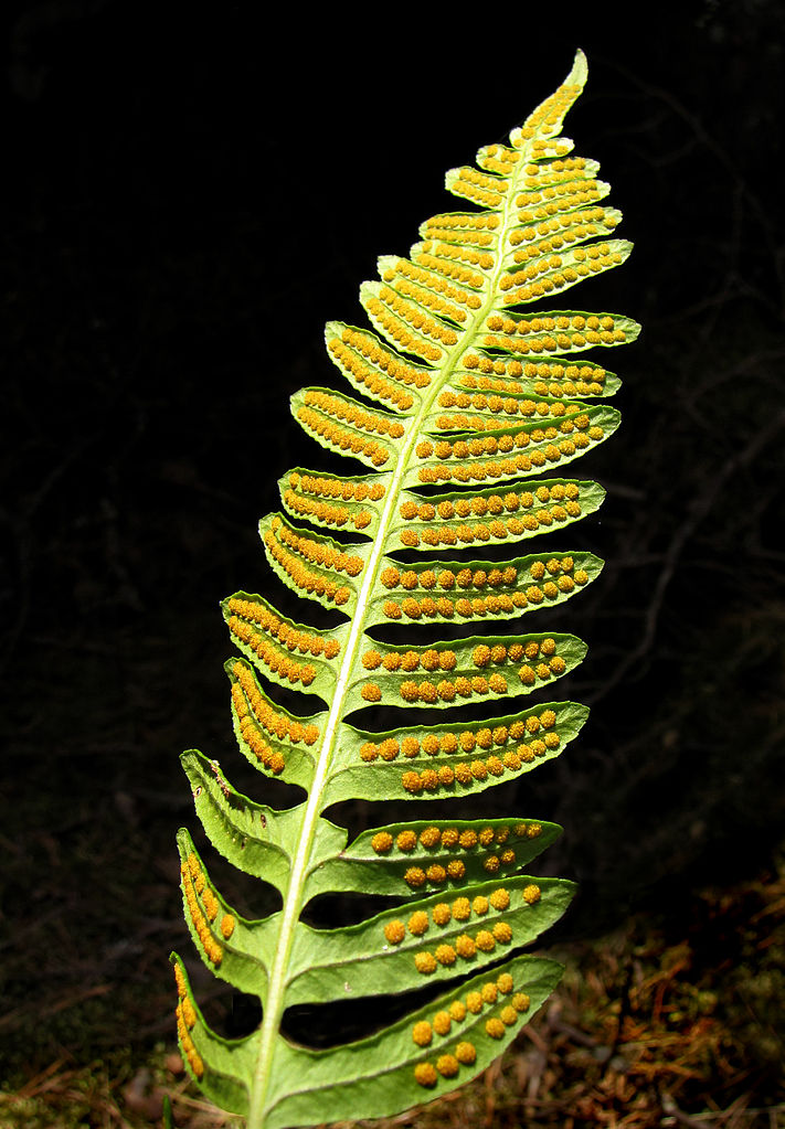 Sori of a fern