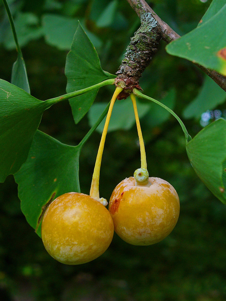 The fleshy, fruit-like sarcotesta of  Ginkgo biloba  contains 1 or 2 fertilized seeds. When ripe the sacrotesta smells like vomit. Photo: H. Zell 2010. Source Wikimedia Commons.